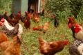 ζωοτροφές Πουλερικών